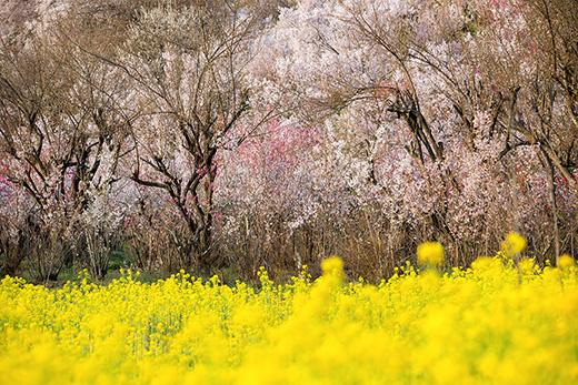 桃源郷・花見山公園の桜と、来夢の喜多方ラーメン