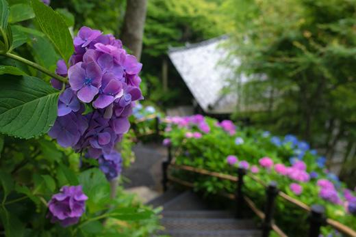 超満開だった鎌倉・長谷寺の紫陽花と、イワタ珈琲店のホットケーキ